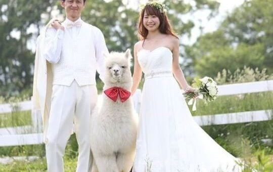 Japanese Hotel Rents Out An Alpaca Wedding Witness