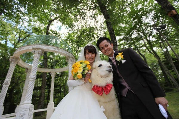 alpaca wedding witness