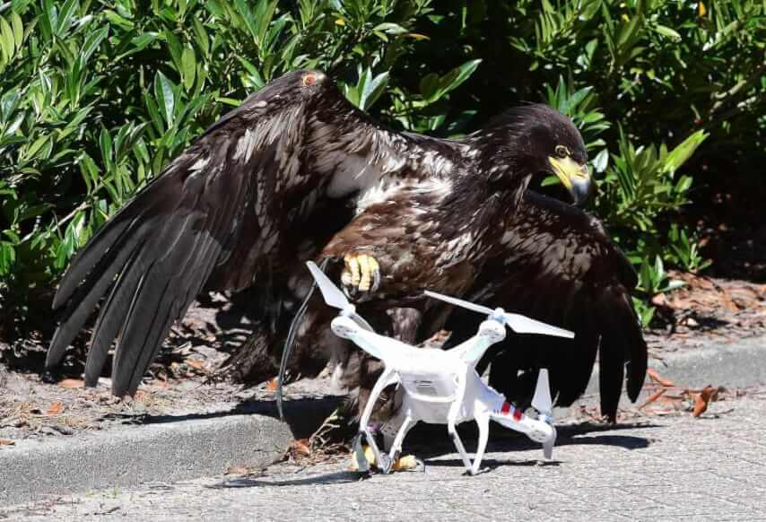 eagle tackles drone
