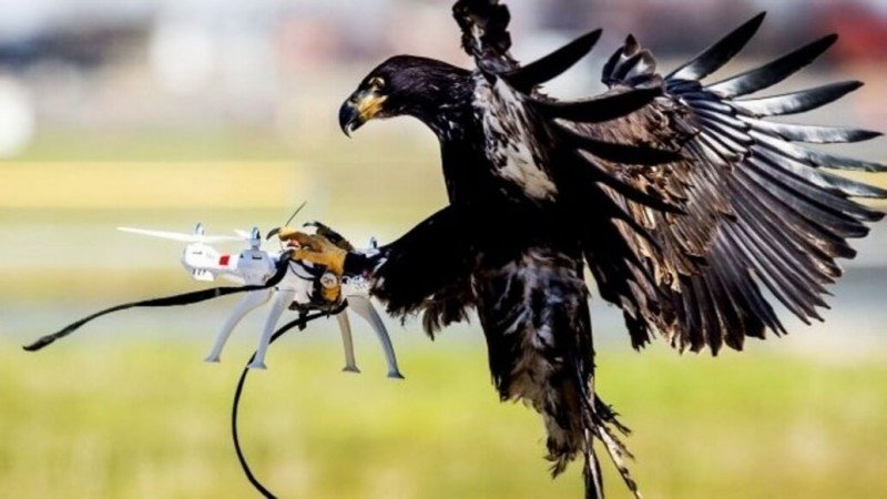 Trained Eagles Tackle Pesky Drone Problem