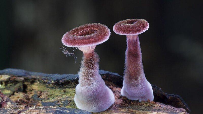 Panus fasciatus