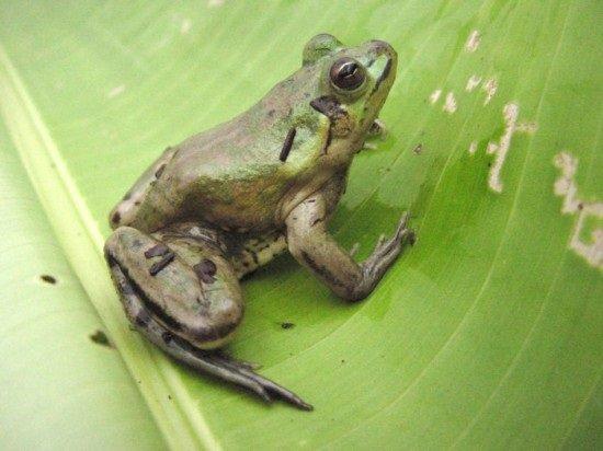paradoxical-frog3