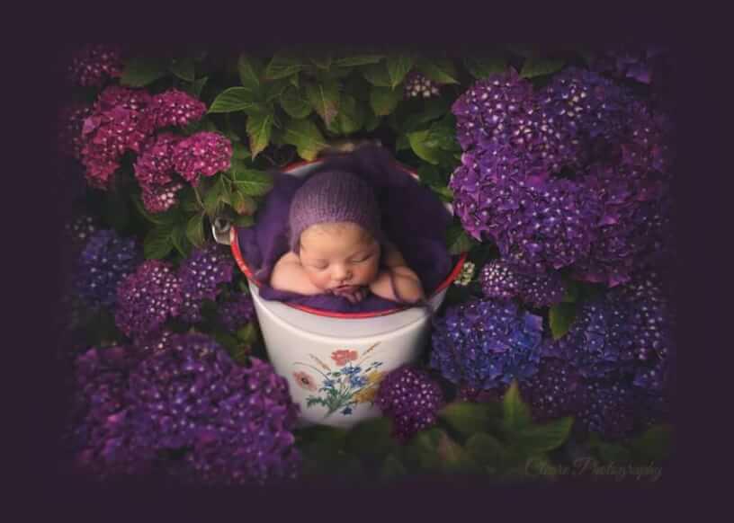 Pretty Baby Hydrangea