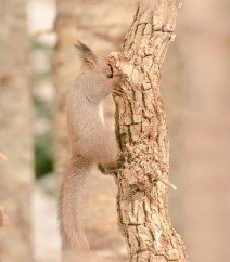 Hokkaido Red Squirrel