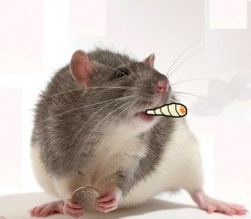 smoking rat