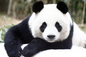 How Pandas Got Their Patches - Science And Mythology