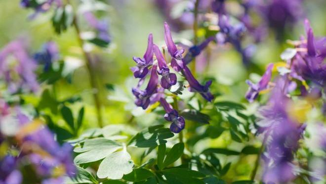 Pain Relievers In Ancient Times Corydalis
