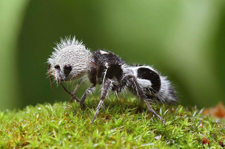 Panda-Ant 1