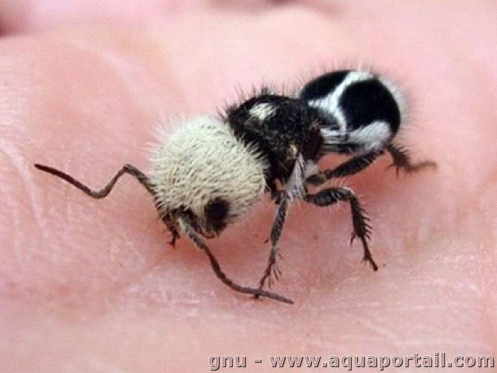 Panda-Ant 2