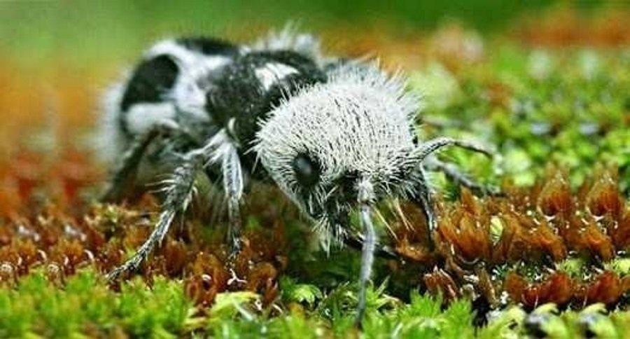 Panda-Ant 3