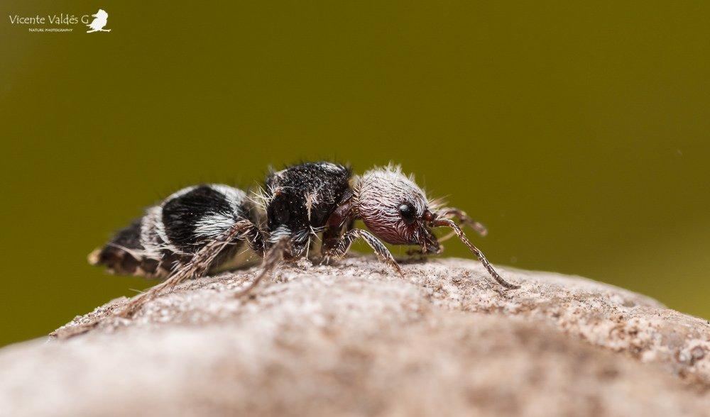 Panda-Ant