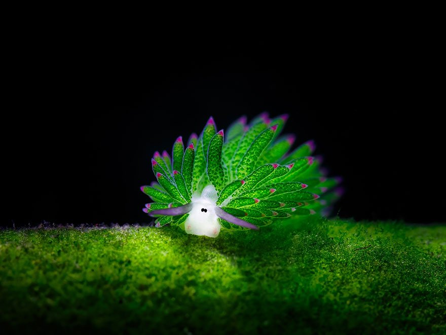 Sea Sheep (Costasiella Kuroshimae)