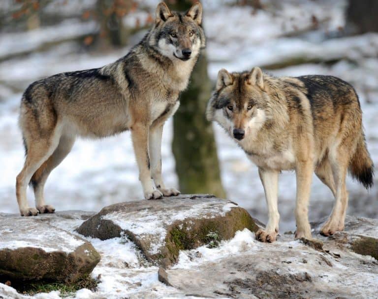 grey wolf france