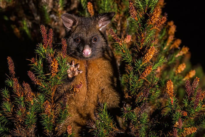 Adorable Brushtail Possum