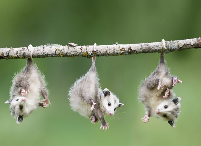 Adorbs Baby Opossums Hanging From Branch