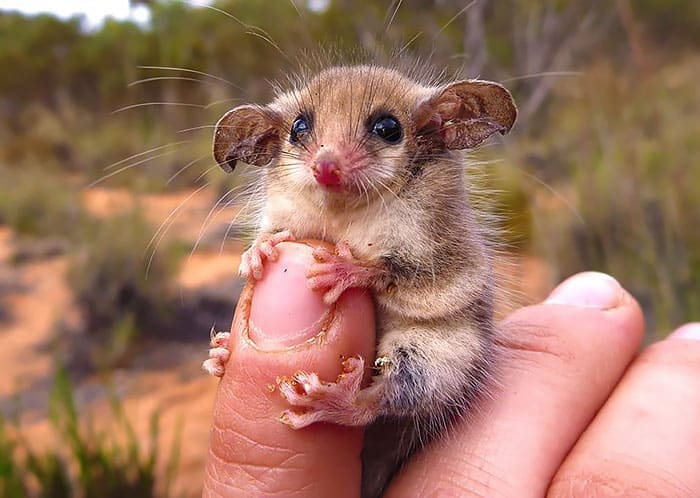 Cute Australian Western Pygmy Possum