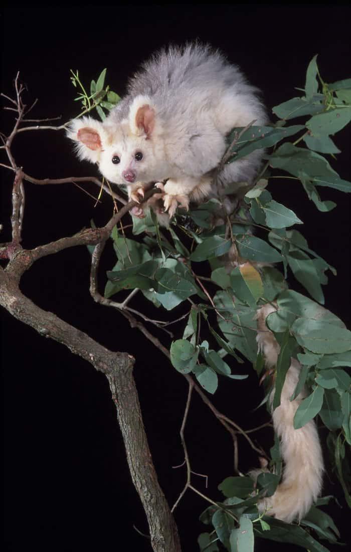 Greater Glider Possum