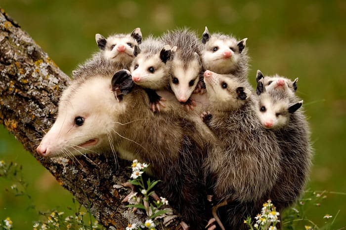 Possum mommy