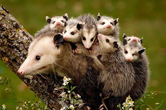 Possum mommy