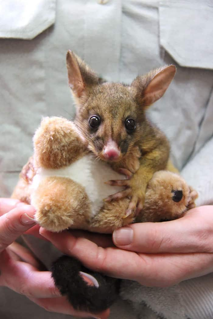 This Orphaned Baby Possum Won't Stop Hugging Its Toy Kangaroo