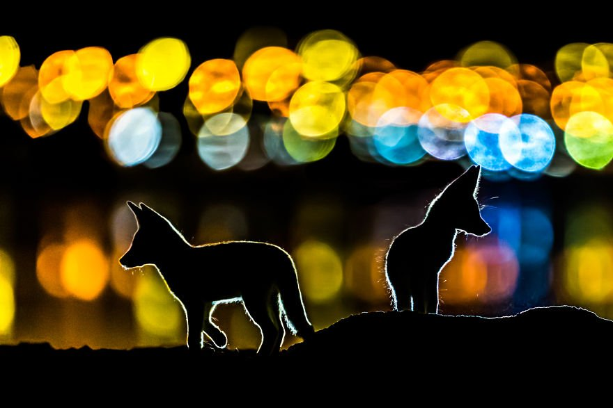 Category Mammals Highly Commended 'Colorful Night' By Mohammad Murad (Kw)