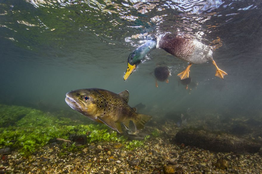 Category Underwater Highly Commended 'Duck Photo Bomb' By Paul Colley (UK)